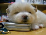 puppy_sleeping_on_phone